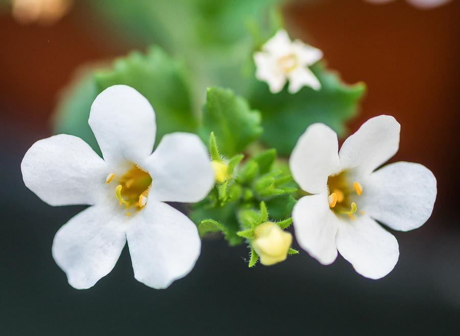 Image of flowers of the bacopa plant