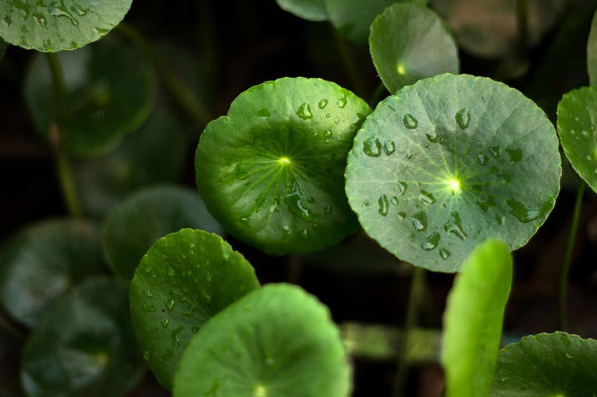 Image of the gotu kola plant in nature